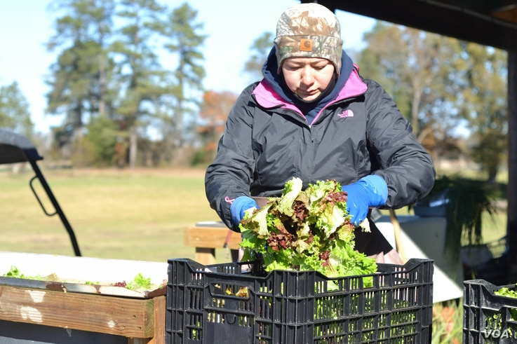 A worker at Garner's Produce cleans greens prior to packing them for delivery. (N. Papadogiannakis/VOA)
