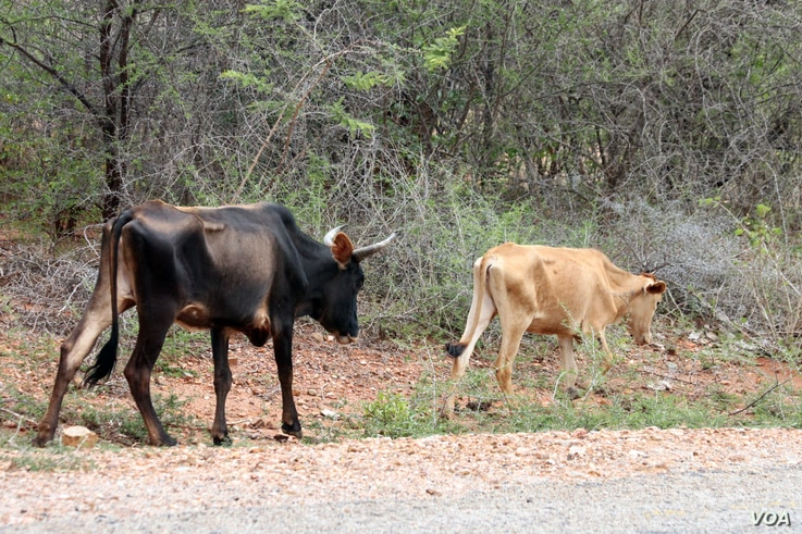 FILE - Frail and starving cattle are seen in Chivi, Masvingo province, Zimbabwe. The country's vice-president, Emmerson Mnangagwa, says close to 20,000 farm animals have died due to severe drought conditions. (Photo - S. Mhofu/VOA)
