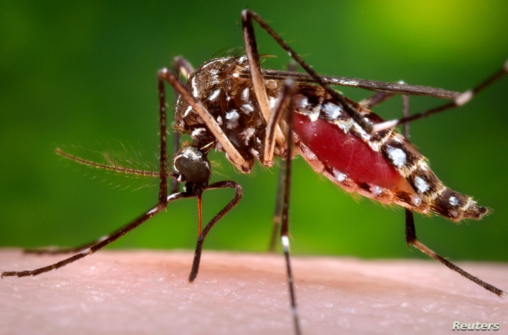 FILE - A female Aedes aegypti mosquito is shown in this Center for Disease Control photograph.
