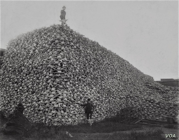 Photograph from the mid-1870s of a pile of American buffalo skulls waiting to be ground for fertilizer.