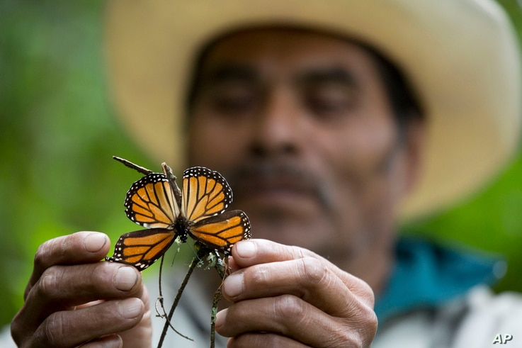 A guide holds up a damaged and dying butterfly at the monarch butterfly reserve in Piedra Herrada, Mexico, Nov. 12, 2015.