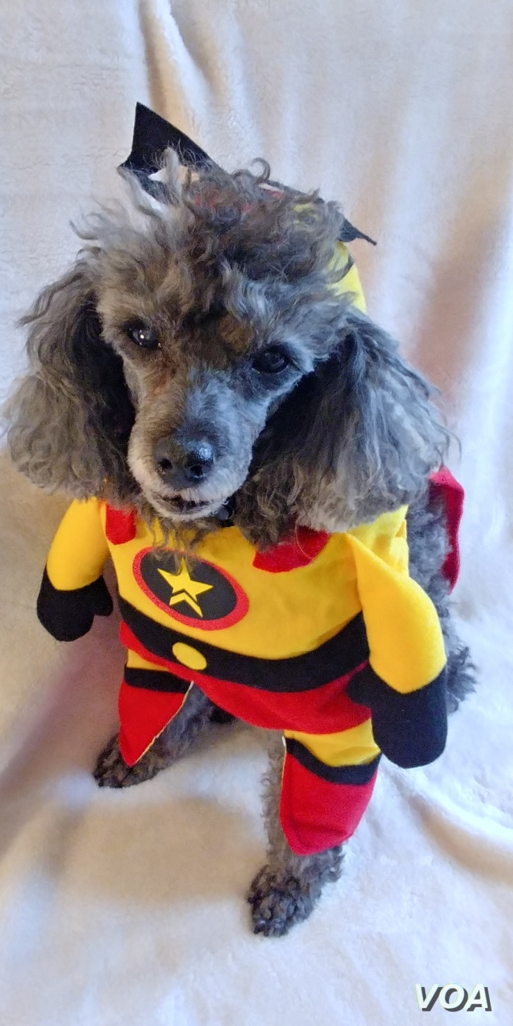 A dog is decked out in a superhero costume in preparation for Halloween festivities.