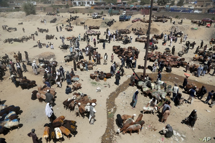 Afghan livestock merchants display animals for the upcoming Muslim Eid al-Adha holiday, in Kabul, Afghanistan, Aug. 20, 2018.