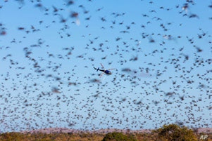 A thick swarm of locusts in southern part of Madagascar in May 2011.