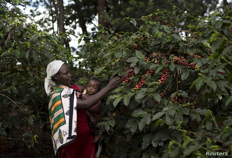 A woman picks coffee berries while holding a child at the Paradise Lost coffee farm in Kiambu, Kenya, Nov. 10, 2015.