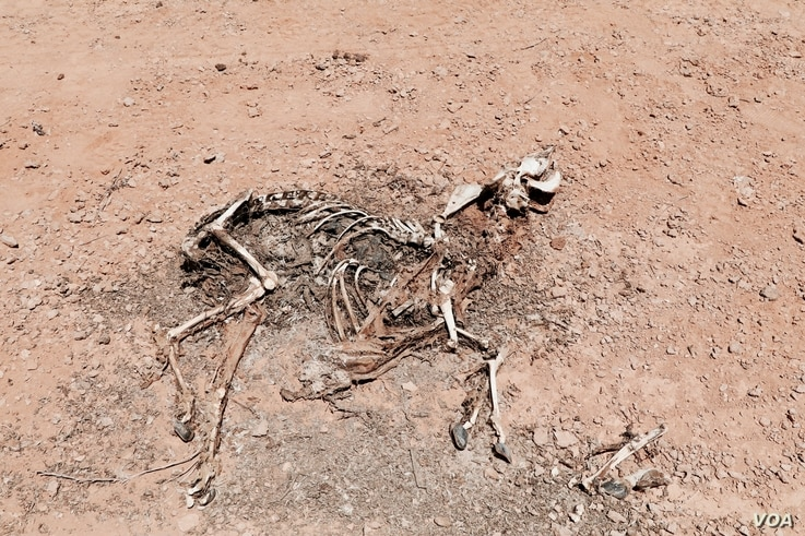 Animal carcasses, such as this one of a dead goat, are scattered across Puntland as starvation and disease overtake livestock population, in Puntland, Somalia, March 24, 2017. (N. Wadekar/VOA)