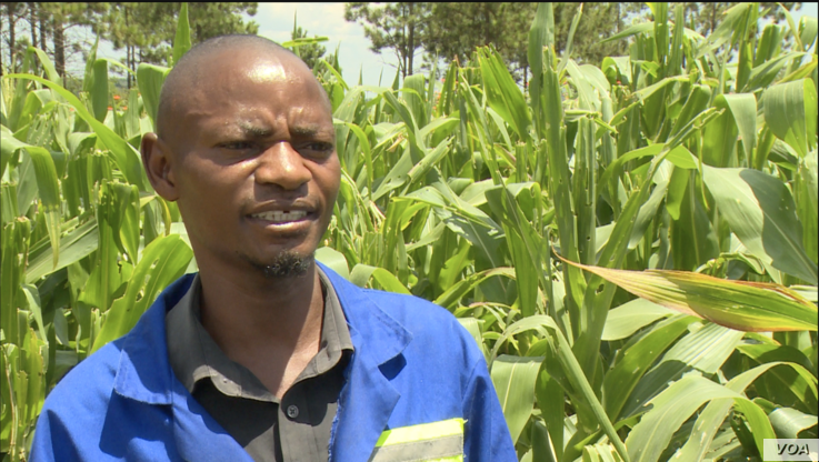 Peter Joseph Dzingami, a far manager in Goromonzi district, March 5, 2019, says that in the previous years farmers would control the fall armyworm. But this year, because there is not much rainfall, and the worms are hatching more than previous year...