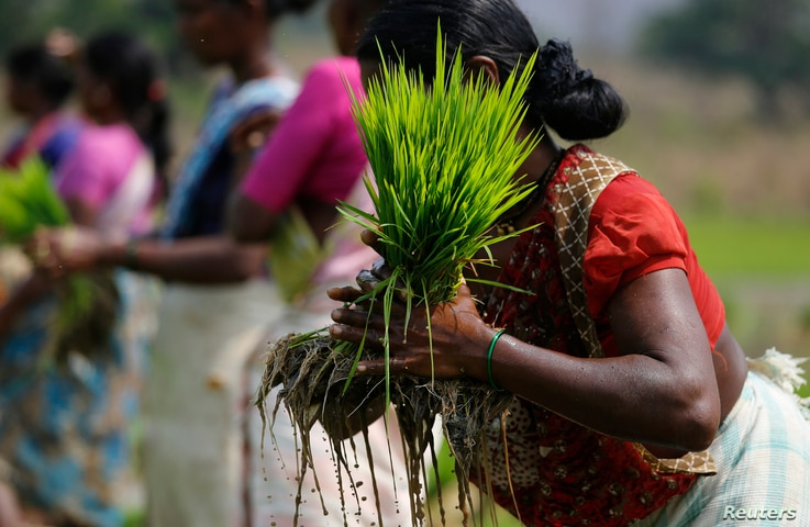 A laborer ties a bundle of rice saplings as others plant them in another field in Karjat, India, March 1, 2016.