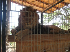 A lion named Cuzy relaxes in an animal enclosure at Cat Haven.
