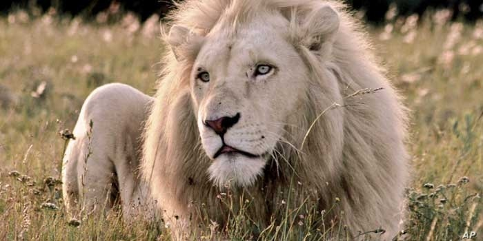 Howarth says his white lions are free to roam all over his reserve, unlike others that are kept in confined spaces, such as zoos
