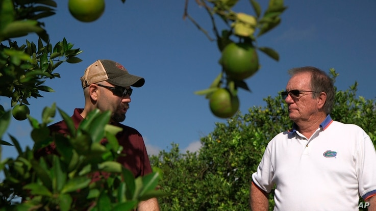 "Fred Gmitter, a geneticist at the University of Florida Citrus Research and Education Center, right, visits a citrus grower in an orange grove affected by citrus greening disease in Fort Meade, Fla., Sept. 27, 2018. ""If we can go in and edit the gene..."