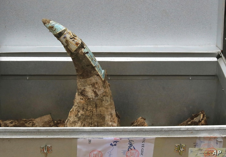 FILE - A confiscated rhino horn is placed in a container before being destroyed in Hanoi, Vietnam, Nov. 12, 2016. Vietnamese authorities destroyed more than 2 tons of confiscated elephant ivory and rhino horns, sending a message that they want illega...