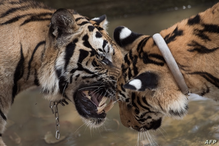 Two tigers play at the Tiger Temple in Kanchanaburi province, Thailand, April 24, 2015.