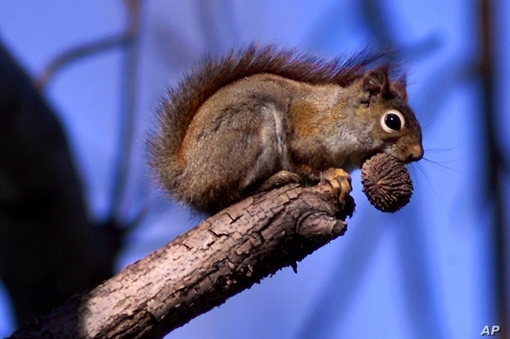 FILE - A red squirrel sits in a tree with an ample meal of a black walnut in his mouth in Bainbridge, Ohio, April 25, 2000.