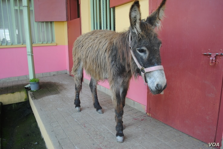 A donkey awaits care in Donkey Sanctuary's free veterinary clinic in Addis Ababa, Ethiopia.