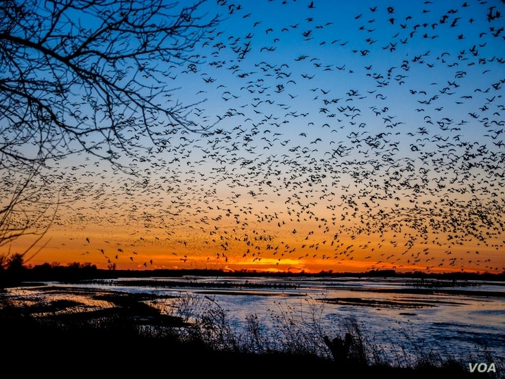 FILE -- Sandhill cranes fill the skies at sunset, descending to their roost on the river where they are protected from predators.