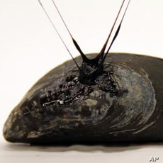 Mussels generate their own self-healing sticky material, which allows them to attach to rocks and to repair tiny tears caused by breaking waves and sand abrasion, but the elastic gel attached to this one was created in the laboratory.