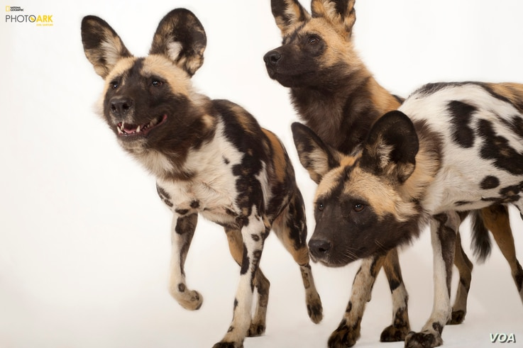 Endangered African wild dogs (Lycaon pictus) at the Omaha Zoo, Nebraska. (© Photo by Joel Sartore/National Geographic Photo Ark)
