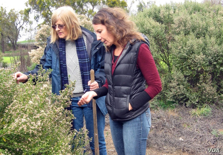 Margaret Smither-Kopperl (left) and Jessa Kay Cruz examine a coyote shrub brush in a hedgerow at Lockeford Plant Materials Center in Pleasanton, Calif.
