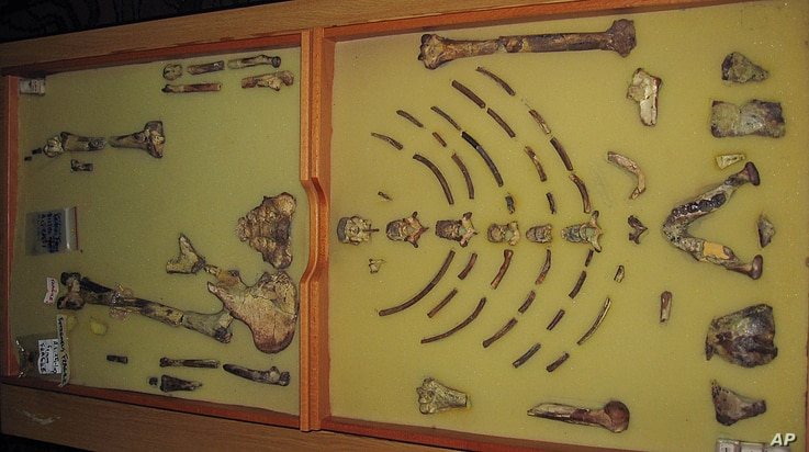 """FILE - The framed hominid fossil """"Lucy"""" -- the first Australopithecus afarensis skeleton ever found -- is seen at a exhibition at the Ethiopian Natural History Museum in the Ethiopian capital of Addis Ababa, Oct. 24, 2006."""
