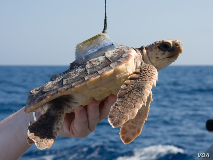 Loggerhead turtles were tagged and released from Florida's Atlantic coast then followed for up to 220 days.  (Jim Abernethy, NMFS)