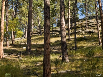 This forest shows how fire has played its natural role.  The pines are spaced widely enough to allow them to survive low intensity fires and there is little lower vegetation. Photo: National Interagency Fire Center