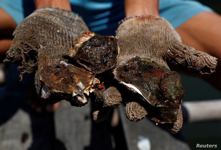 A farmer holds oysters grown at a floating farm in Tuaran, Sabah, Malaysia, July 8, 2018.