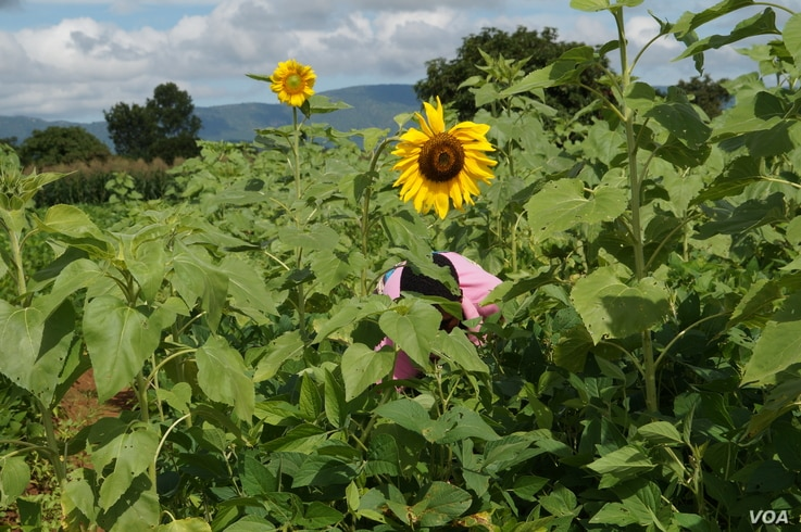 A farmer who is a member of the RLEEP program works in a sunflower field in Mchinji district, Malawi. (Photo: Lameck Masina for VOA)