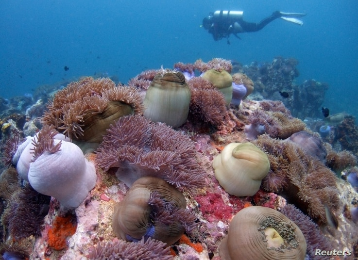 A scuba diver swims above a bed of corals off Malaysia's Tioman island in the South China Sea, May 4, 2008.