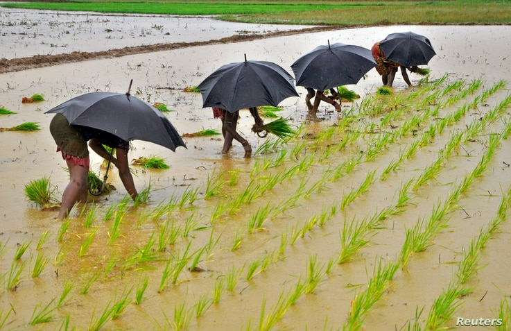 Labourers plant saplings in a paddy field on the outskirts of the eastern Indian city of Bhubaneswar July 19, 2014.