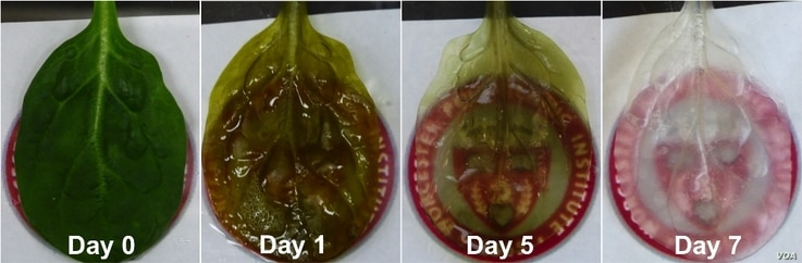 A time lapse view shows plant cells being removes from spinach leaves, leaving behind the leaf's vascular system. (WPI)