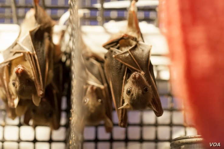 Dog-faced fruit bats are caught and sold in markets in Thailand for medicinal use. (Photo courtesy of Organization for Bat Conservation)