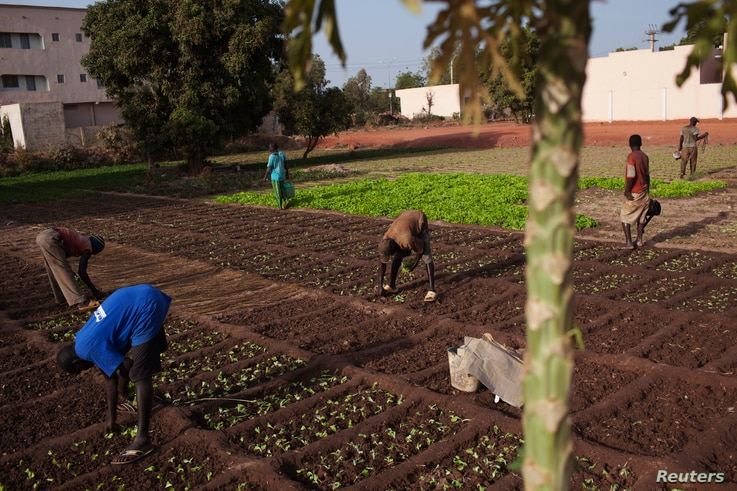 FILE - Urban farmers grow lettuce on a small patch of land in Bamako, Mali, Feb. 25, 2014.