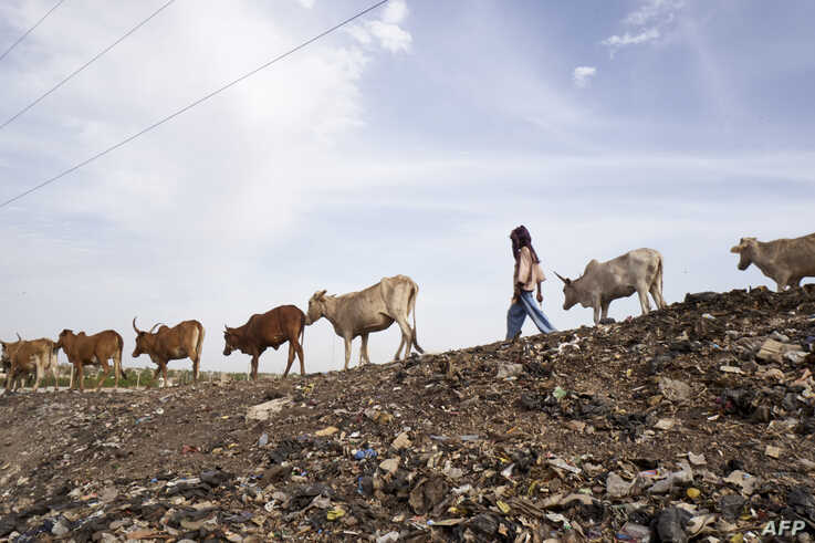 FILE - A Fulani herder leads his cattle to the landfill next to the internally displaced persons camp in Faladie, Mali, where nearly 800 IDPs have found refuge after fleeing intercommunal violence, on May 14, 2019.