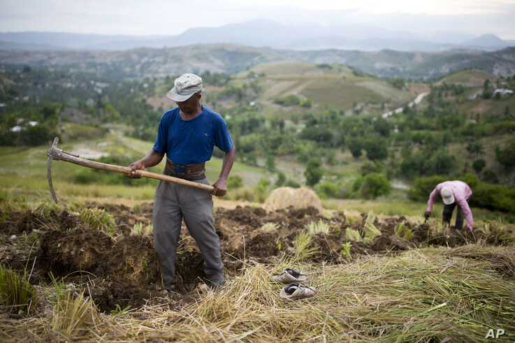 Thomas Absolue, 64, harvests vetiver roots, used to produce an essential oil used in fine perfumes, on a farm in Les Cayes, Haiti.