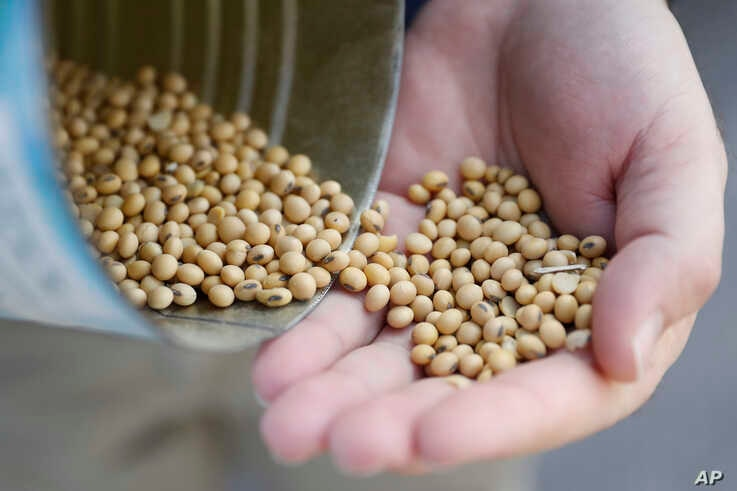 FILE - A grain salesman shows locally grown soybeans in Ohio, April 5, 2018. Trump's tariffs have drawn retaliation from around the world. China is taxing American soybeans, among other things; the European Union has hit Harley-Davidson motorcycles and Kentucky bourbon; Canada has imposed tariffs on a range of products — from U.S. steel to dishwasher detergent. (AP Photo/John Minchillo, File)