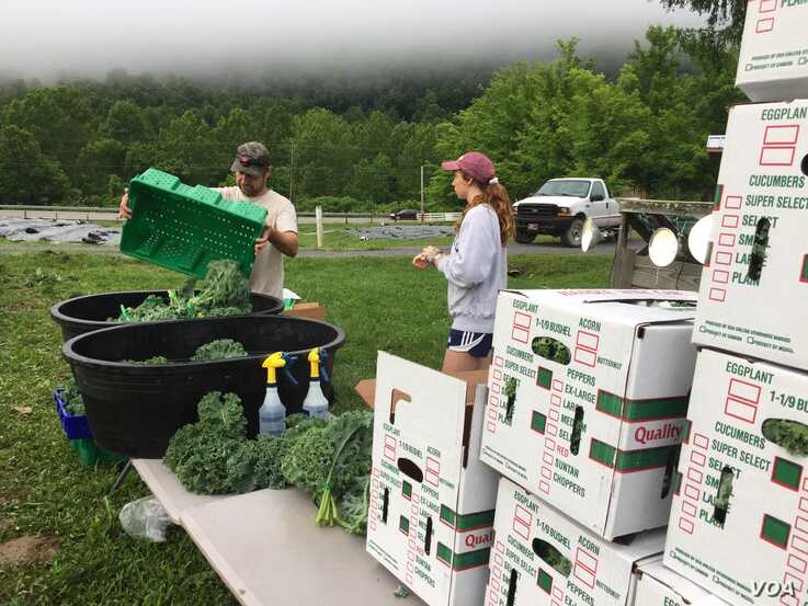 Organic kale is hand picked, washed and packed on site at Sprouting Farms, West Virginia.