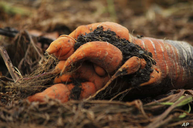 A deformed and infested carrot is seen on the ground in a remote community near La Grita, Venezuela, June 19, 2019.