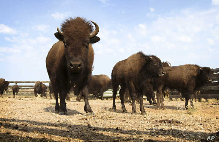 This Sept. 23, 2012, file photo shows buffalo in Custer State Park in western South Dakota.