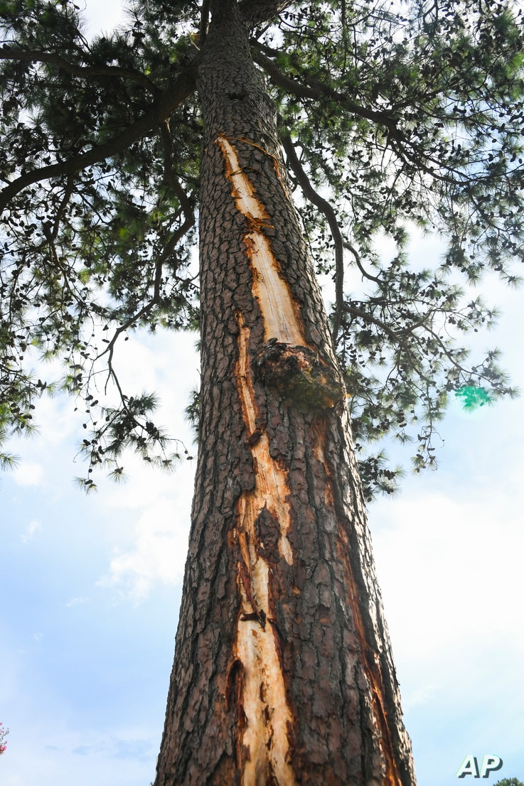 A pine tree is stripped of bark after being hit by lightning at East Lake Golf Club in Atlanta.