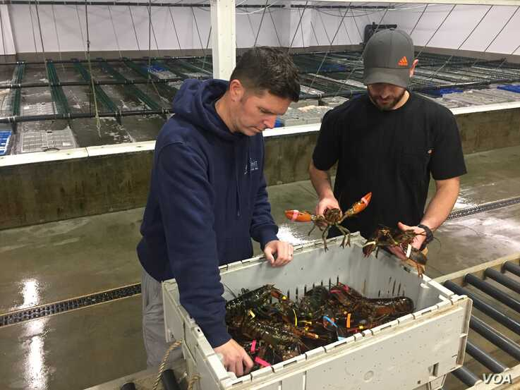 Maine Coast employees inspect lobsters at the facility in York, Maine. (J.Taboh/VOA)