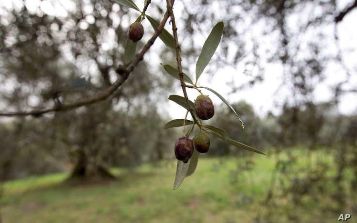 FILE - Damaged olives hang in a grove in Nerola, 50 kilometers (31 miles) from Rome, Nov. 13, 2014.