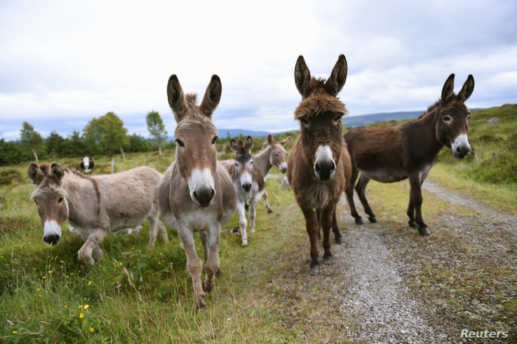 FILE - Donkeys stand Peter Gallagher's farm in Belcoo, Northern Ireland.