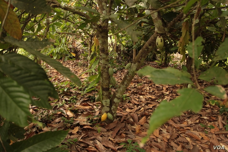 Asikesu is a cocoa-growing region in Ghana, but farmers who do not own the land they farm are losing their land to other developments. (S. Knott/VOA)