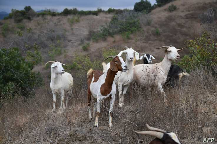 Some 100 goats graze on a hillside as part of fire prevention efforts, September 26, 2019 in South Pasadena, California. - In…