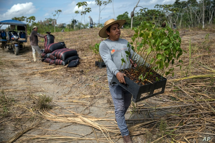 Forestry researcher Jhon Farfan carries saplings to replant a field damaged by illegal gold miners in Madre de Dios, Peru, on M