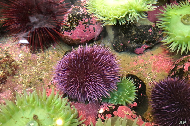 In Oct. 16, 2019 photo, a purple sea urchin sits in a touch tank at the Marine Hatfield Science Center in Newport, Ore. Tens of…