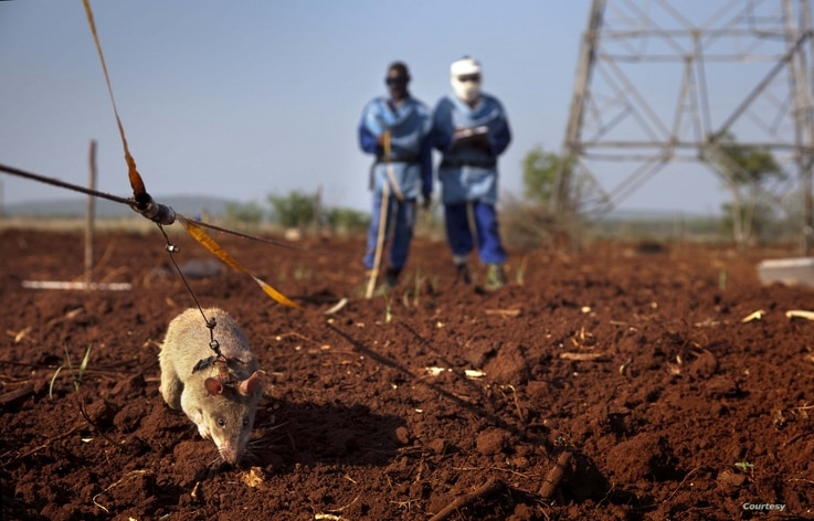 African giant pouched rats like this one are specially trained at APOPO headquarters in Tanzania to detect landmines. (Picasa