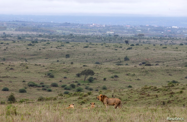 A lion stand near two lionesses in the grassland of the Nairobi National Park near Nairobi, Kenya, May 12, 2017.