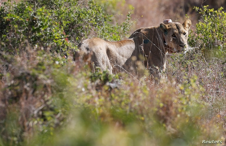 A 5-year-old lioness named Nyala walks in the grassland after Kenya Wildlife Services veterinarians set up a radio collar on her neck to track her pride's movements at the Nairobi National Park near Nairobi, Kenya Jan. 23, 2017.